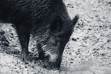 Wildschwein (schwarz-weiß) von Eugenlens