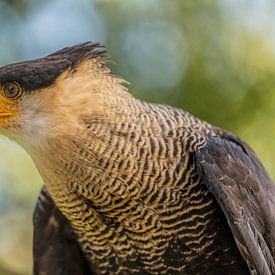 Die südliche Caracara (Caracara plancus) von Mieneke Andeweg-van Rijn