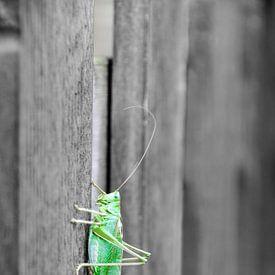 Groene sabelsprinkhaan op hekje van Nora Verhoef