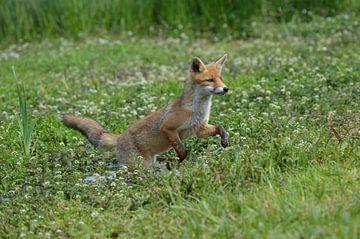 Speelse jonge vos van Yvonne van der Meij