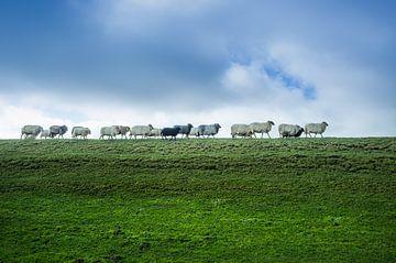Schafwandern von elwin flik