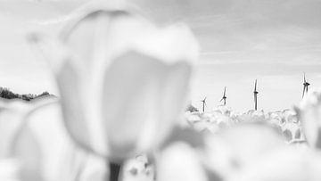 Landbouw veld met bloeiende witte tulpen in Flevoland van Fotografiecor .nl