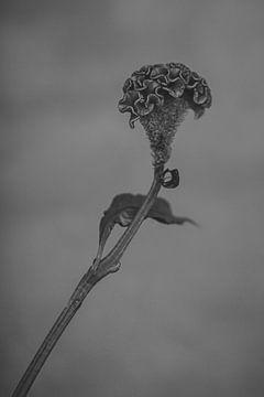 Celosia zwart wit van Carla Van Iersel