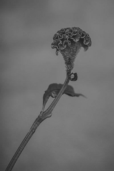 La célosie en noir et blanc sur Carla Van Iersel