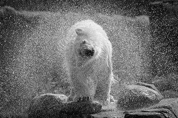 spetterende ijsbeer. von Tilly Meijer