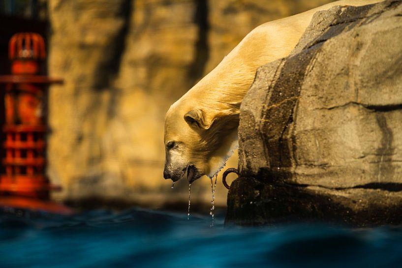 Eisbär von Stephan Zaun