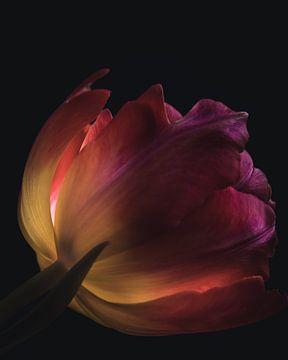 Bunte Tulpe von Sandra Hazes