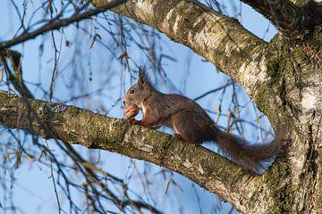 Eichhörnchen von Eline Buijsrogge