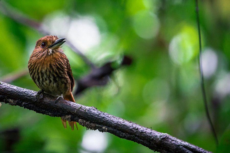 Witsnorbaardkoekoek in het Corcovado Nationaal Park, Costa Rica