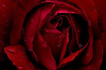 Rote Rose von Paul Arentsen