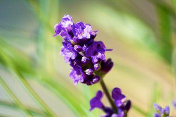 Lavendel von Reinhardt Dallgass