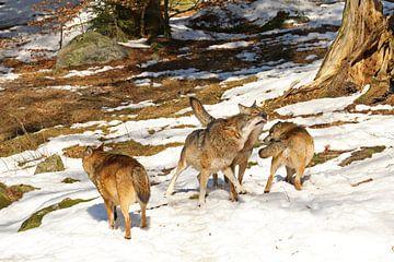 Roedel wolven van Antwan Janssen