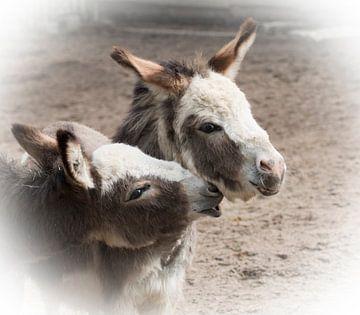 Twee ezels  van Angelique van Heertum