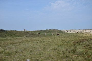koeien in de duinen van Jeroen Franssen