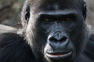 Gorilla portret van Barend de Ronde