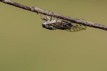 Provencaalse cicade ( Lyristes plebejus )