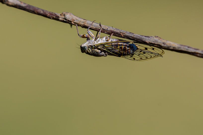 Provencaalse cicade ( Lyristes plebejus ) van Andrea de Vries