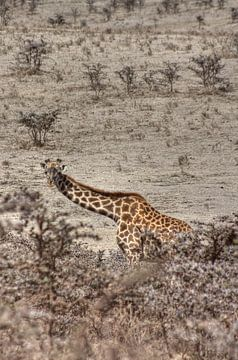 Giraffe Layer van BL Photography
