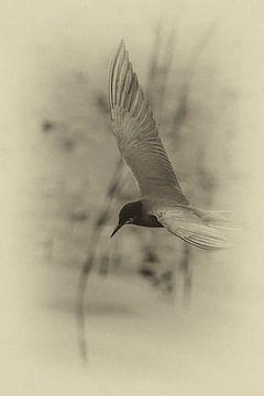 Zwarte Stern (Chlidonias niger) von Marcel Pietersen