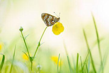 Veldparelmoervlinder op boterbloem van Francois Debets