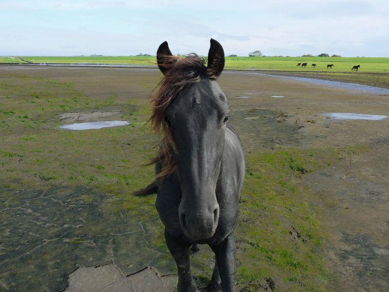 31. Außenbereich, Noarderleech, friesisches Pferd. von Alies werk