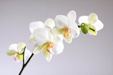 Witte orchideeën van Karina Baumgart
