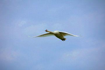 Een zwaan op doorreis. van Jurjen Jan Snikkenburg