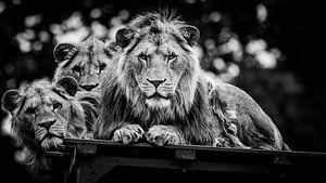 Starende Leeuwen van Joan le Poole