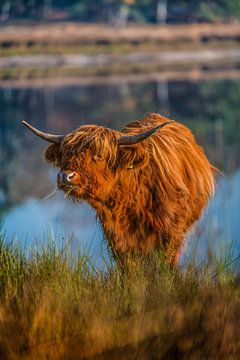Schotse Hooglander geniet van gras van Bas Fransen
