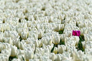 Rosa Tulpe und ein Meer von weißen Tulpen von Wijnand Medendorp