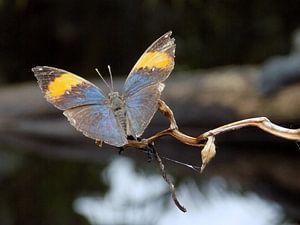 Tropische vlinder Tropical Butterfly (Collectie 2018) van