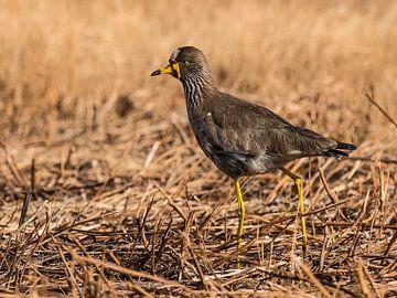 Watervogel: De Plevier in de avondzon. van Rob Smit