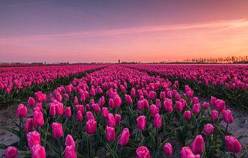 Sonnenaufgang am Tulpenfeld von Ilya Korzelius