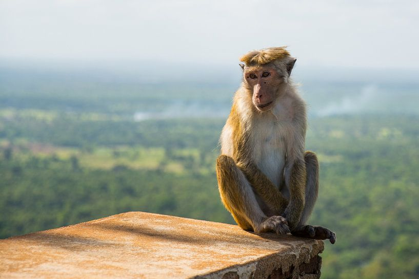 Aap bij tempelcomplex Sigiriya in Sri Lanka van Lifelicious