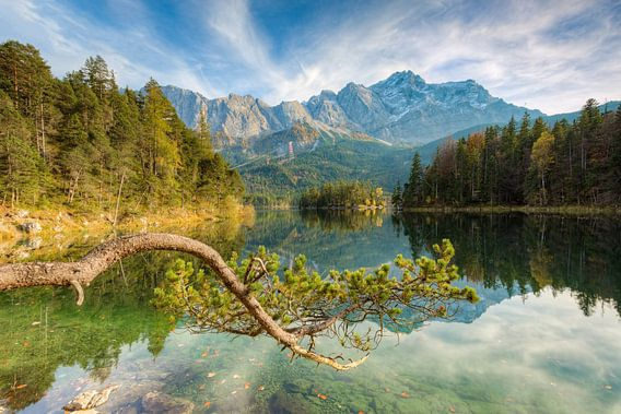 Pine at the Eibsee in Bavaria