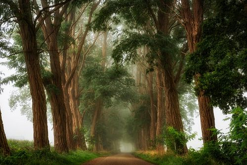 Acacia's in de Mist