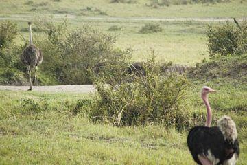 struisvogel van Laurence Van Hoeck