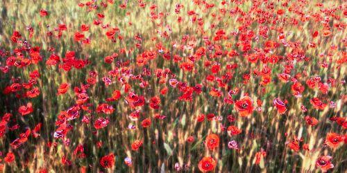 a summer full of poppies van