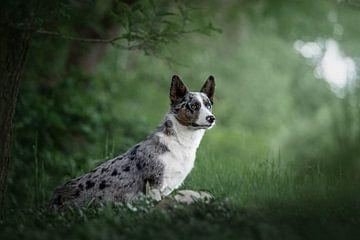 Welsh Corgi Cardigan hond staand in het groen van Lotte van Alderen