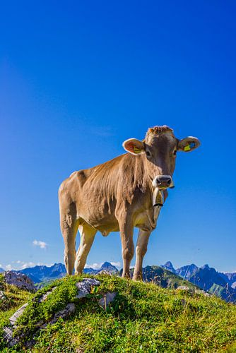 Young cow, Allgäu alps van Walter G. Allgöwer