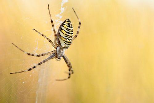 Wespenspin in web