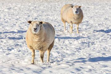 Zwei Schafe stehen im Schnee im Winter Saison von Ben Schonewille