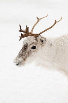 Rendier Portret In Het Noorden Van Noorwegen van Henrike Schenk