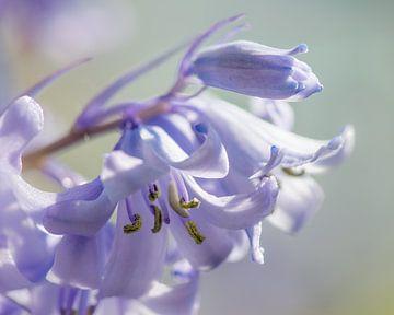 Hyacint in bloei van Connie Posthuma