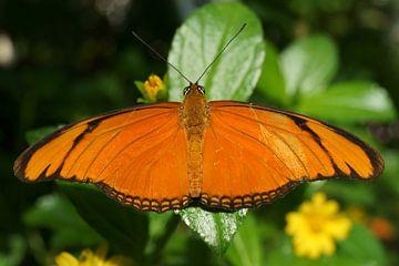 Oranje Vlinder sur Michel van Kooten
