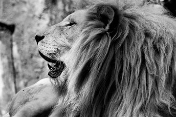 Le Roi Lion sur Leen Van de Sande
