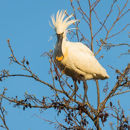 Vogels | Punky lepelaar van