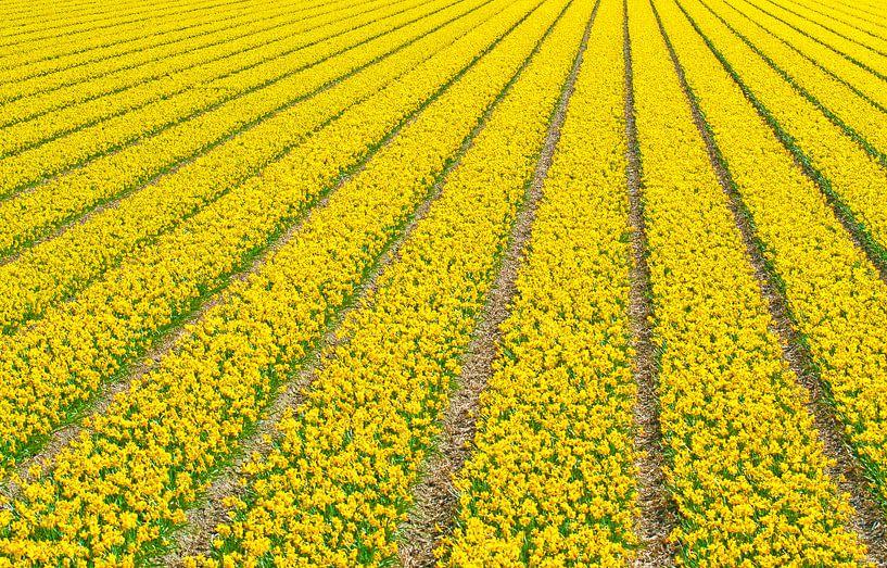 Narcissusfield van Dalex Photography