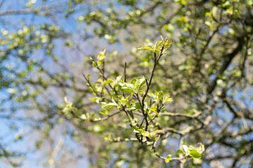 Jonge blaadjes van een boom van Anita Visschers
