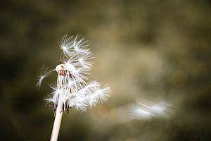 Paardebloem verliest zijn laatste bloemenzaadjes in de wind van Arthur Scheltes